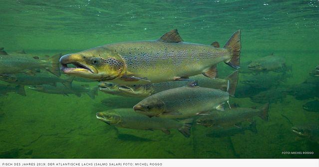 """Fisch des Jahres 2019 """"Der Atlantische Seelachs"""""""