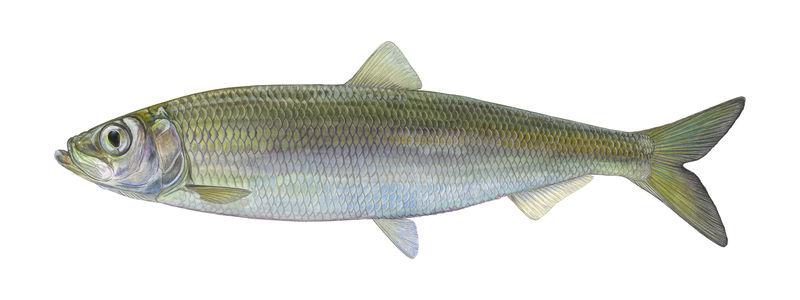 Fisch des Jahres 2021: Der atlantische Hering (Clupea harengus)
